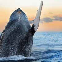 baleias-jubarte-em-morro-de-sao-paulo