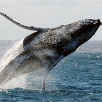 passeio-baleia-jubarte